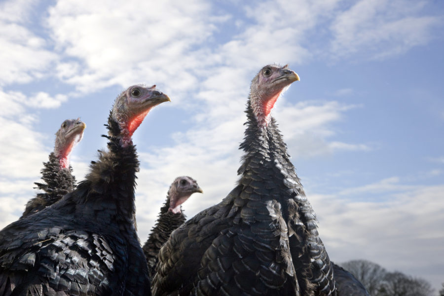 Kelly bronze turkeys | image by McAteer Photograph